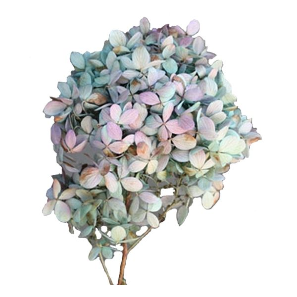 37702238 –  BLUE TWO-TONE LIMELIGHT HYDRANGEA,  PKG/3